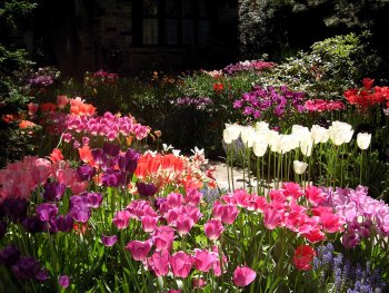 luscious tulips blooming