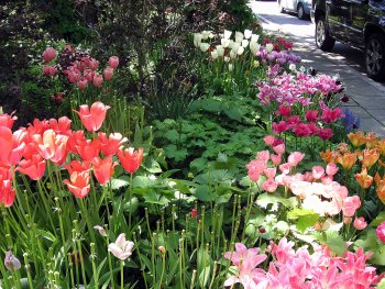 perennials and tulips blooming