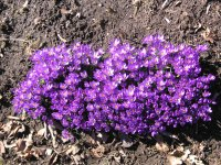 Crocus clump