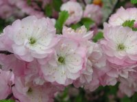 close up of flowering almond blossoms