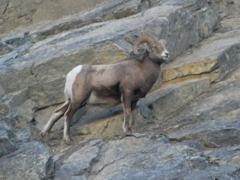 A mountain goat on the side of a cliff