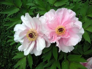 pink tree peonie blossoms