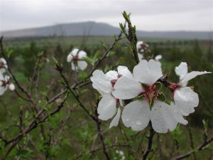 single almond blossom