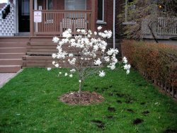 Tiny magnolia tree
